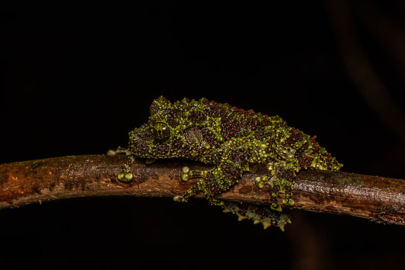 Vietnamese Mossy Frog, Theloderma corticale